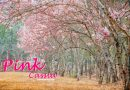 Pink Cassia TheRoyal Chiangmai Golf Club